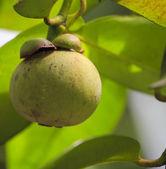 Green mangosteen — Stock Photo