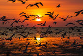 Silhouette of seagulls flying at sunset — Stock Photo