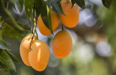 Plum Mango(Bouea macrophylla Griffith) — Stock Photo