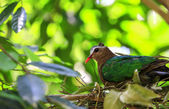 Emerald Dove(Green-winged Pigeon) bird — Stock Photo