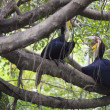 Wreathed Hornbill bird — Stock Photo