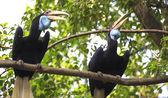 Wreathed Hornbill bird — Stock Photo