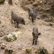 Wild boar family — Stock Photo