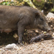 Small wild boars sucking milk from their mother  — Stock Photo