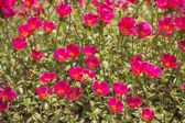 Colorful a field of red flowers — Stock Photo