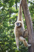 White Cheeked Gibbon or Lar Gibbon — Stock Photo