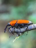 Insectos macro picudo — Foto de Stock