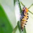 Butterfly cocoon and the empty chrysalis of butterfly — Stock Photo #47983159