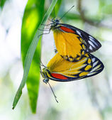 Mating Pair of Red-spot Jezebel, Butterfly — Foto Stock