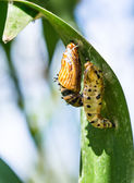 Butterfly cocoon and the empty chrysalis of butterfly — Stock Photo