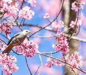 White-headed Bulbul bird  on twig of sakura — Stock Photo