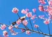在樱花树枝的白头鹎鸟 — 图库照片