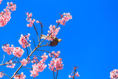 White-headed Bulbul bird  on twig of sakura — Stock Photo