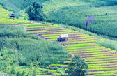 Landscape of the lined Green terraced rice and corn field — Stock Photo