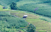 Landscape of the lined Green terraced rice and corn field — Foto de Stock