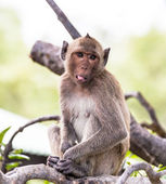 Monkey (crab-eating macaque) Asia Thailand — Stockfoto