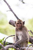 Monkey (crab-eating macaque) Asia Thailand — Stock Photo