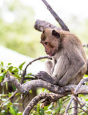 Monkey (crab-eating macaque) Asia Thailand — ストック写真