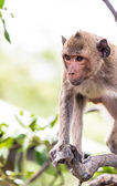 Monkey (crab-eating macaque) Asia Thailand — Stock fotografie