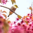 White-eye bird on twig of pink cherry blossom (sakura) — Stock Photo #48718861