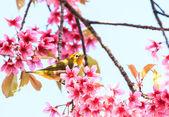 Oiseau zostérops sur rameau de roses fleurs de cerisier (sakura) — Photo