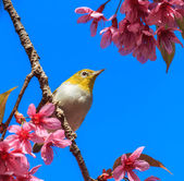 White-eye bird on twig of pink cherry blossom (sakura) — Stock Photo