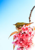 White-eye bird on twig of pink cherry blossom (sakura) — Stock Photo