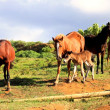 Wild horses at the Easter Island — Stock Photo