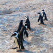 South African penguins — Stock Photo