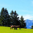 Unleashed horses grazing in Bavarian Alps - Stock Photo