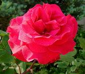Krásné červené růže — Stock fotografie