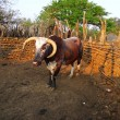 African Nguni bull at the Great Kraal in Zululand, South Africa. - Stock Photo