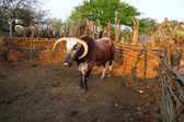 African Nguni bull at the Great Kraal in Zululand, South Africa. — Stock Photo