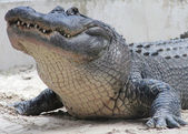 American Alligator in The Everglades National Park, Florida — Stock Photo
