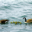 Canadian goose family with baby gos — Stock Photo