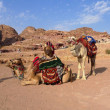 Stock Photo: Bedouin Camels, Petra, Jordan
