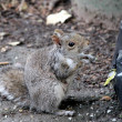 Stockfoto: Squirrel in city