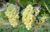 Gruner Veltliner grape ready for harvest — Stock Photo