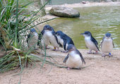 Söt australiensisk little penguins — Stockfoto