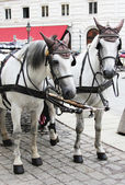 Fiaker horses in Salzburg, Austria — Stock Photo