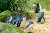 Cute Australian little penguins — 图库照片