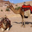 Bedouin camels in Petra, Jordan — Stock Photo #22729705