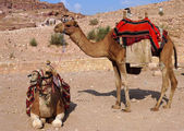 Bedouin camels in Petra, Jordan — Stock Photo
