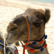 Camel on the beach in Dubai, UAE — Stock Photo