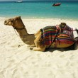 Camel on the beach in Dubai, UAE — Stock Photo #23273024