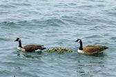 Canadian goose-familie mit baby-gos — Stockfoto