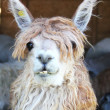 Lama at the animal farm in Chile — Stock Photo