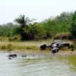 Family of hippos on St  Lucia Lake, South Africa — Stock Photo
