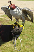 Saker falcon with a hood at a falconry display — Stock Photo