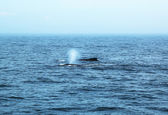 Humpback whales in the Gulf of Maine — 图库照片